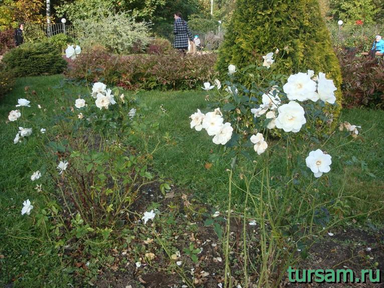 """Белые розы в малом розарии в парке """"Сокольники"""""""