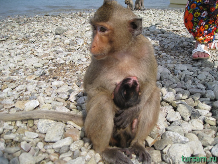 Фото обезьян на острове №5