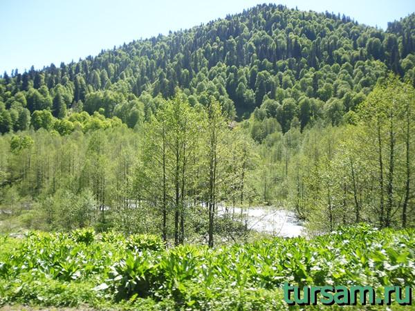 Деревья на альпийских лугах в Абхазии