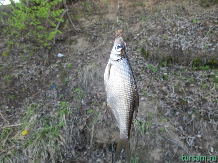 Рыба, пойманная около моста, соединяющего Кличен с Осташковом