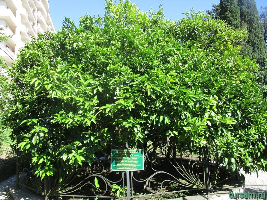 Сад-музей Дерево Дружбы в Сочи-7