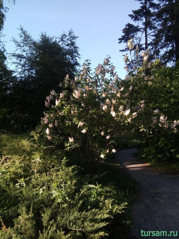 Сиреневый сад на территории парка Сокольники-2