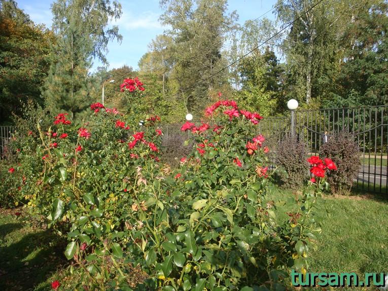 """Темно-оранжевые розы в малом розарии в парке """"Сокольники"""""""