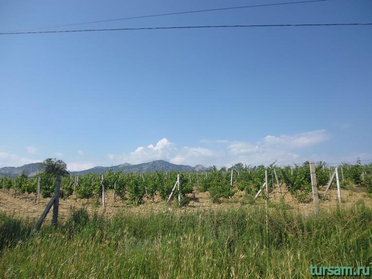 Виноградники в Солнечной Долине