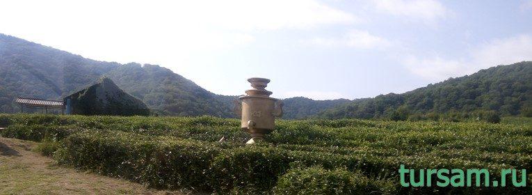 """Чайная плантация """"Шапсугский чай""""-2"""