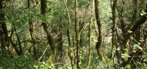 Тисо-самшитовая роща реликтовый лес